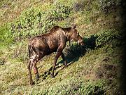 The moose (Alces alces) is the largest species of the deer family. Denali National Park, Alaska, USA.