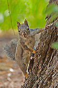 Douglas Squirrel (Chickaree) at Big Pine Creek