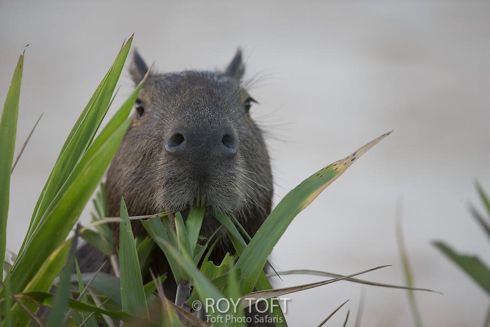 Capybara (Hydrochoerus hydrochaeris), Pantanal, Brazil