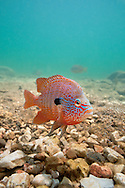 Longear Sunfish (male guarding nest)<br />