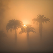Golden glow of sunrise through the fog, behind palms trees.