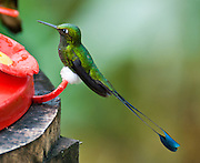 The Booted Racket-tail (or Racquet-tail; or Racquet-tailed Hummingbird; Latin name Ocreatus underwoodii) in Bellavista Cloud Forest Reserve, near Quito, Ecuador, South America.