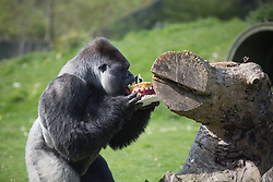 @Licensed to London News Pictures 14/04/2014. The largest (220kgs) and most famous western lowland gorilla AmBam from Port Lympne Wild Animal Park in Kent has been celebrating his 24th birthday today 14/04/14. A special cake made from a variety of vegetables was  baked exclusively for him by SugarRush Baking Company from Hastings. Picture credit should read Manu Palomeque/LNP