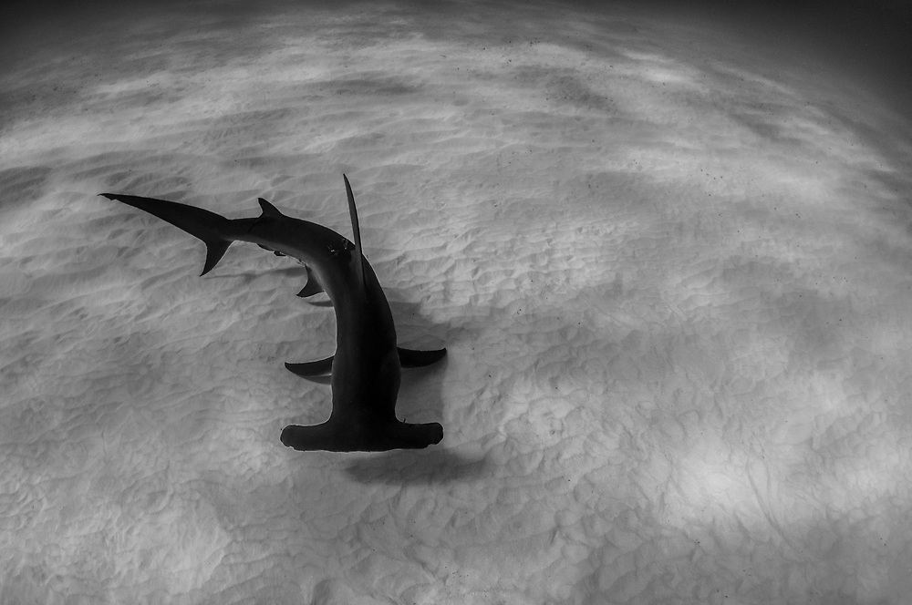 A great hammerhead shark scanning the sandy bottom for stingrays or other prey items.Image made off Bimini, Bahamas.