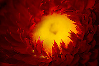 A selective focus macro of a strawflower with petals resembling flames.