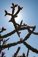 Tree Cholla, (Cylindropuntia imbricata var. arborescens), Big Bend National Park, Texas