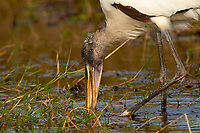 Wood Stork, (Mycteria americana), Arthur R Marshall National Wildlife Reserve - Loxahatchee, Florida, USA