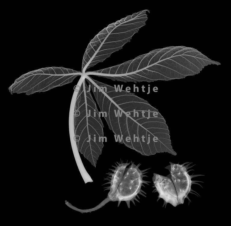 X-ray image of a young horse chestnut leaf and shells (Aesculus hippocastanum, white on black) by Jim Wehtje, specialist in x-ray art and design images.