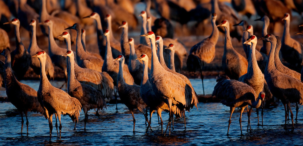 Sandhill Cranes on the Platte River in Nebraska just after sunrise during their annual migration north.