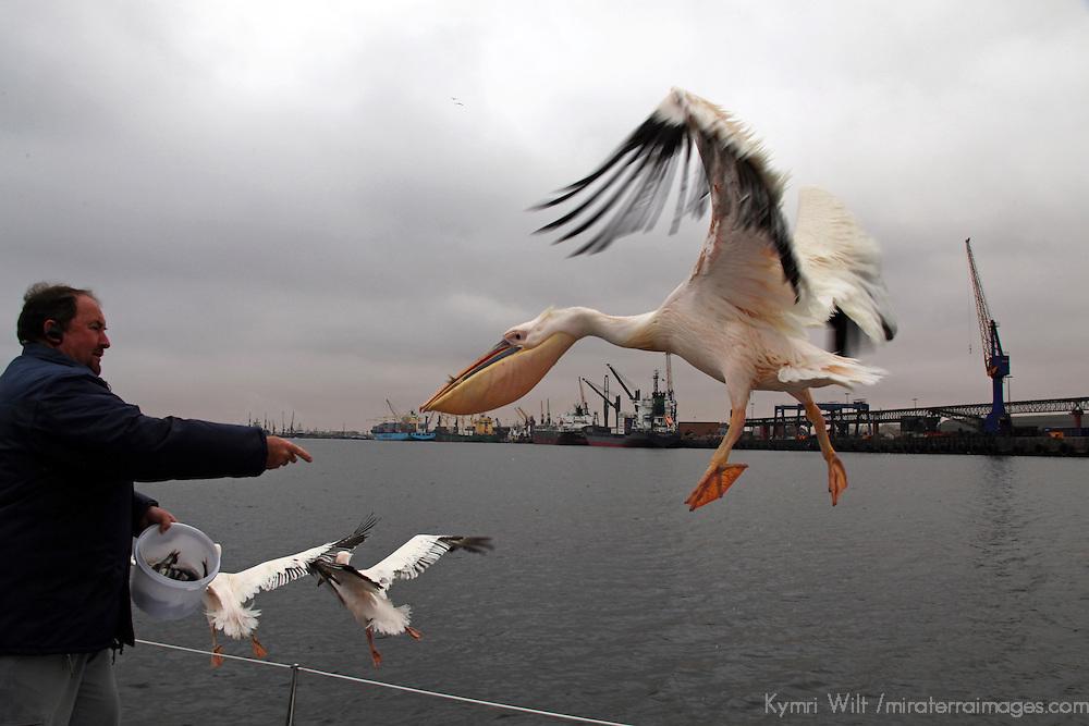 Africa, Namibia, Walvis Bay. Man feeds a Great White Pelican alongside boat in Walvis Bay.
