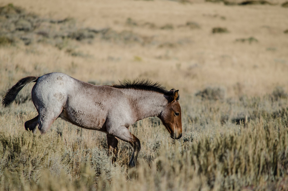 Fine art photograph of young horse on a Wyoming landscape.<br /> <br /> AVAILABLE AS:<br /> <br /> Size 20&rdquo; x 16&rdquo; (50.8cm x 40.6cm approx)*<br /> Edition of ONLY 100 at this size.<br /> US$350 + shipping<br /> <br /> Hand printed in Taos, New Mexico, USA by Taos Print and Photography Services using archival inks and fine art paper. signed and numbered by hand.<br /> <br /> Contact jim@jimodonnellphotography.com to order