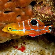 Puddingwife swim in open water just above and around reefs in Tropical West Atlantic; picture taken Panama near San Blas Islands.