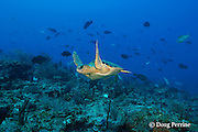 loggerhead sea turtle, Caretta caretta (Endangered Species) swims through spawning aggregation of Nassau groupers, Epinephelus striatus ( Endangered Species ), Lighthouse Reef Atoll, Belize, Central America ( Caribbean Sea )
