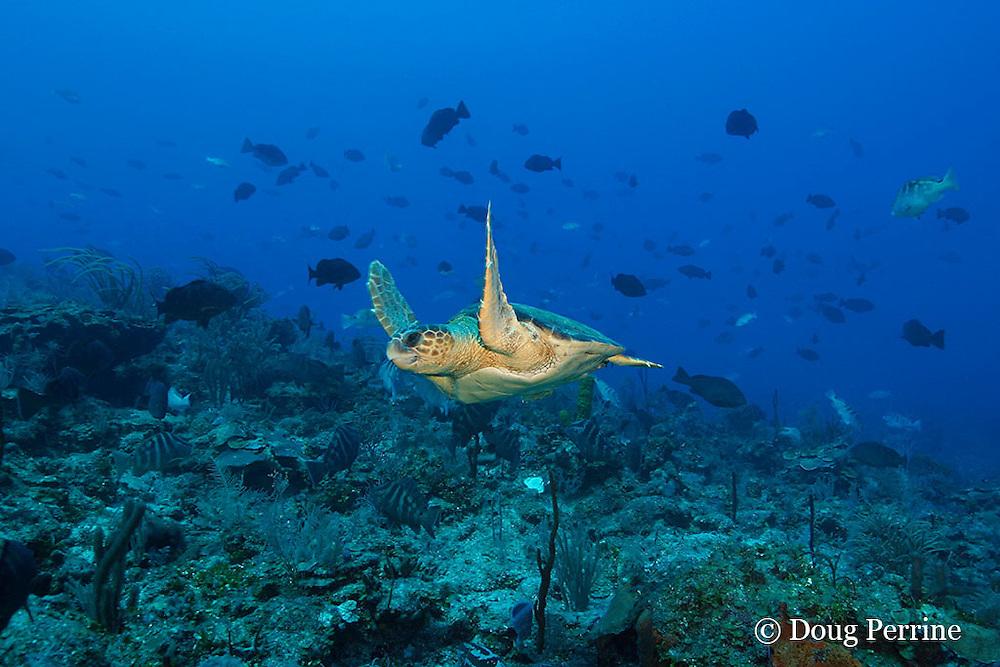 loggerhead sea turtle, Caretta caretta (Endangered Species) swims through spawning aggregation of Nassau groupers, Epinephelus striatus ( Endangered Species ), Lighthouse Reef Atoll, Belize, Central America ( Caribbean Sea )