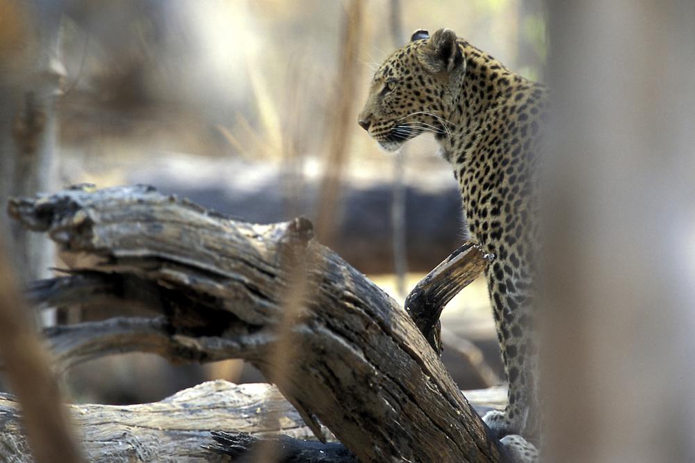 Botswana, Moremi Game Reserve, Adult Female Leopard (Panthera pardus) stalks through dry mopane forest near Khwai River