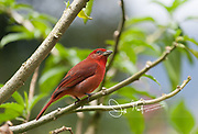 A male Summer tanager perches on a tree branch.