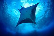 Mobula rays (Mobula tarapacana) Central equatorial Atlantic Ocean, Saint Peter and Saint Paul Archipelago, Brazil #STP17 [first published through bioGraphic, a program of the California Academy of Sciences] |