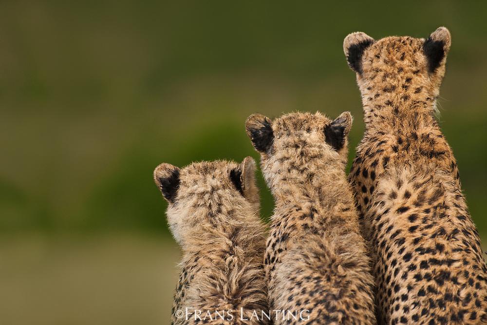 Cheetah mother with cubs, Masai Mara National Reserve, Kenya