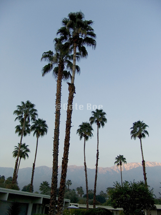 palm trees in early morning light with mountains in the distance Palm Springs USA