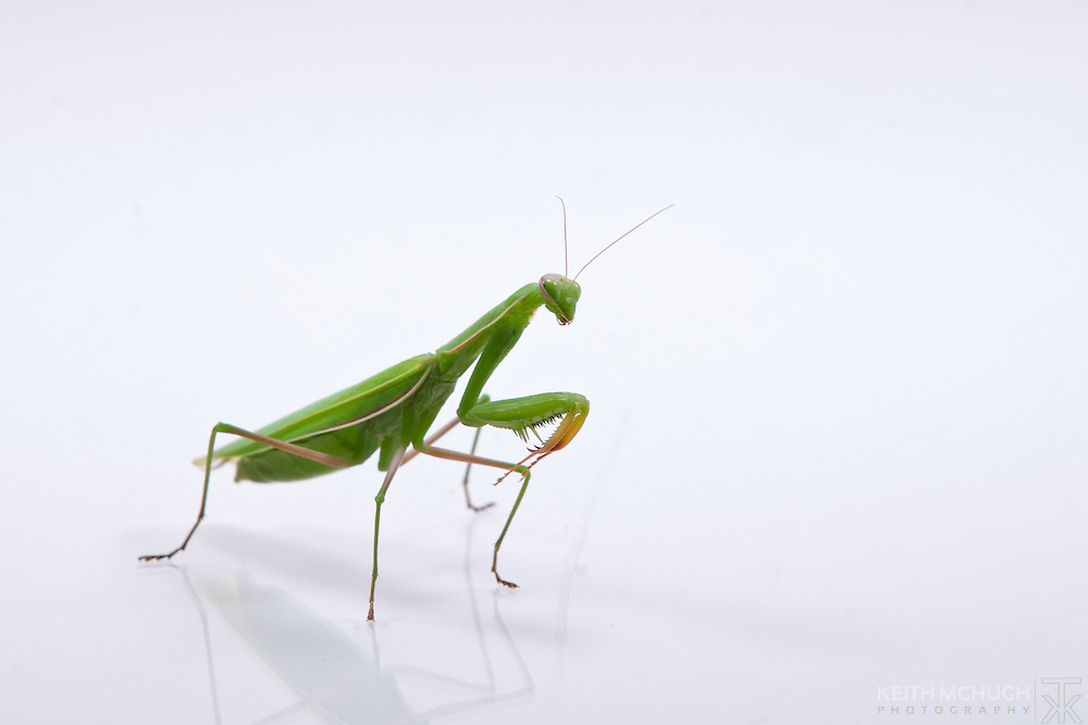 Praying Mantis looking thoughtfully into the distance