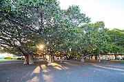 Lahaina Banyan, Maui