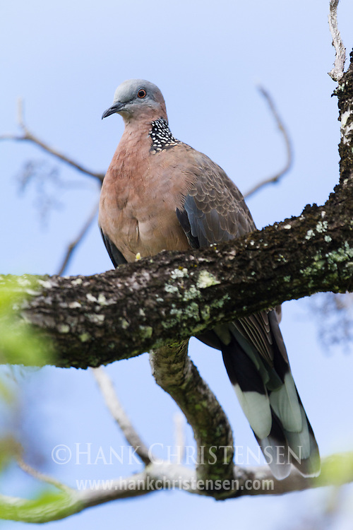 A spotted dove perches on a tree branch