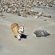 Happy  Pembroke Welsh corgi walking on the beach.