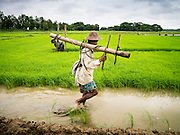14 JUNE 2013 -  PANTANAW, AYEYARWADY, MYANMAR:  A worker carries irrigation piping made out of bamboo through a rice field near Pantanaw, Myanmar. After decades of military mismanagement that led to years of rice imports, Myanmar (Burma) is on track to become one of the world's leading rice exporters in the next two years and could challenge traditional rice exporter leader Thailand. Political and economic reforms have improved rice yields and new mills are being built across the country. Burmese eat more rice than any other people in the world. The average Burmese consumes 210 kilos of rice per year and rice makes up 75 percent of the diet.   PHOTO BY JACK KURTZ