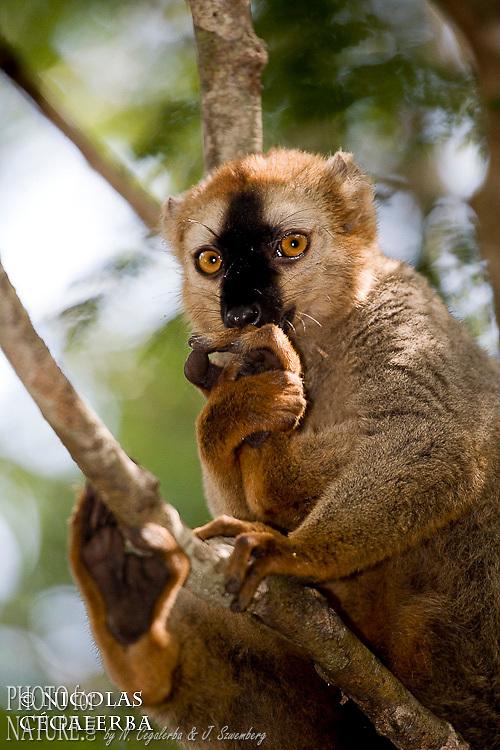 Lémur roux, Eulemur rufus, endémique de l'ouest de Madagascar, Parc National de Kirindy, Madagascar