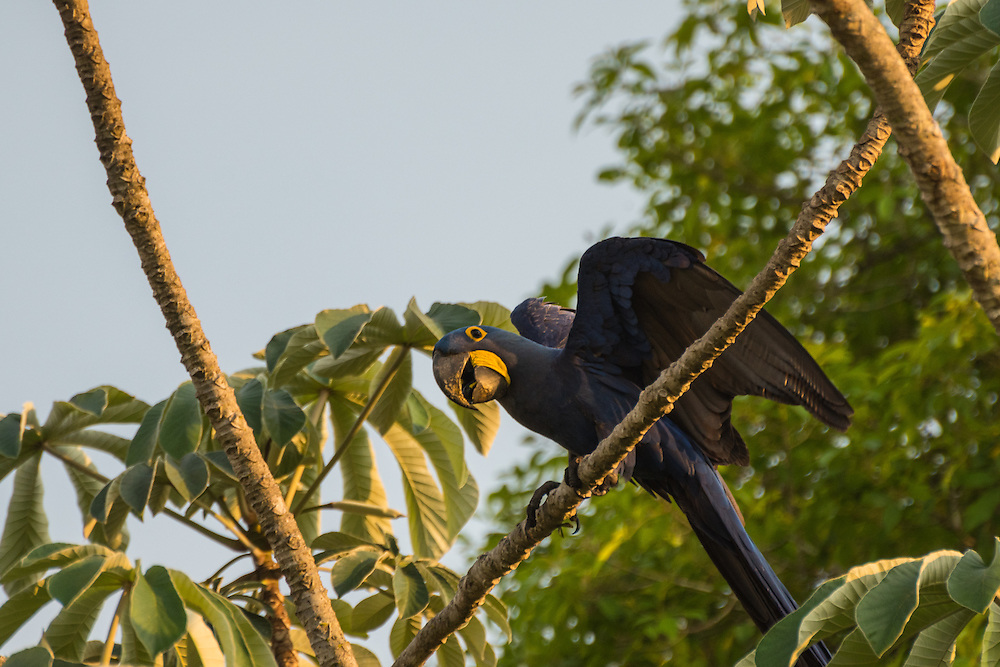 Hyacinth macaw strekking its wings in a tree at sunset, Pantanal, Brazil.
