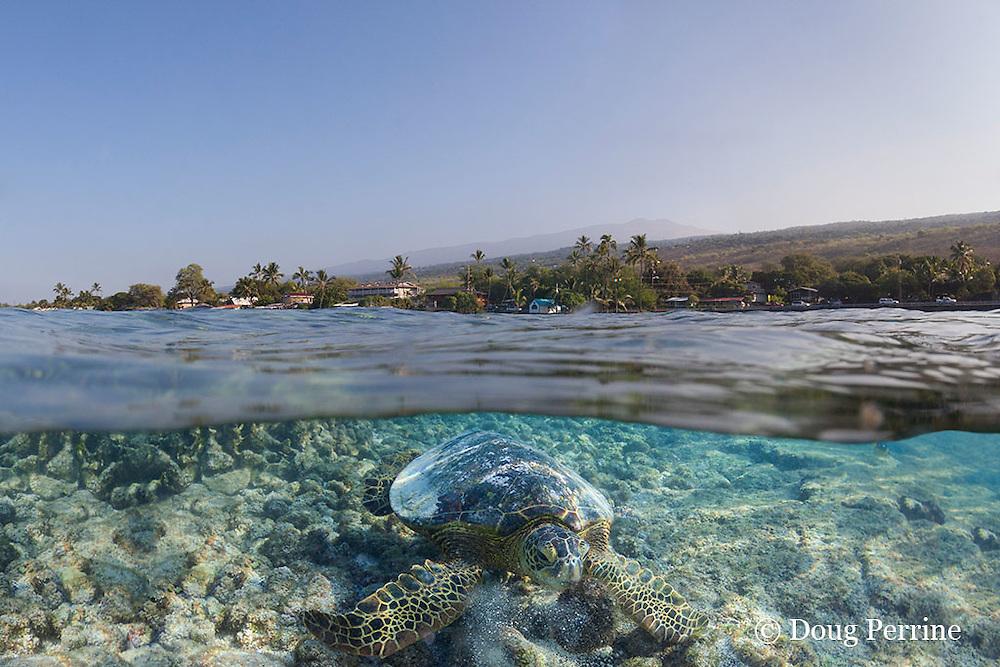 green sea turtle or honu, Chelonia mydas, feeding on algae covering small rock, Kahalu'u Beach Park, Kona, Hawaii, U.S.A. ( digital composite)