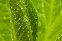 """Spring Rain"".Water drops from spring rain coat an open leaf of a skunk cabbage.  Spring views at Walden Pond."