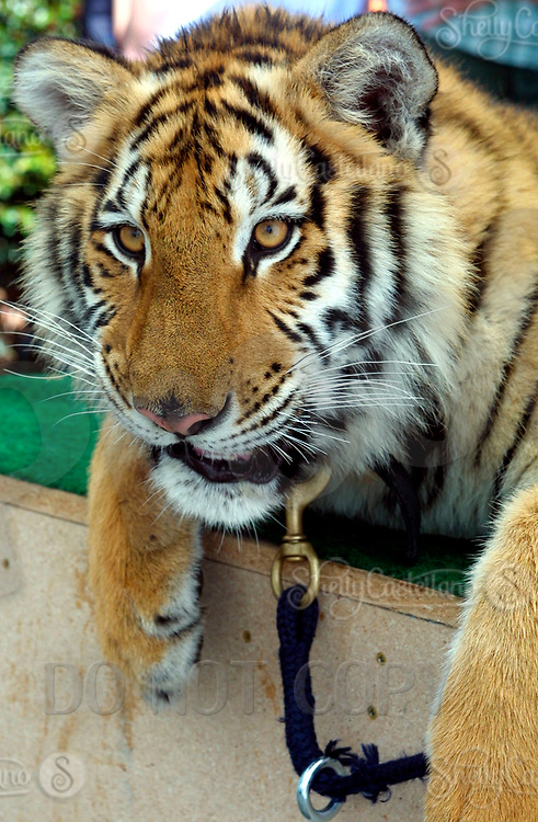 Apr 03, 2002; Lake Elsinore, CA, USA; TUFFY a Siberian Tiger poses for pictures @ Tiger Creek, a non-profit organization dedicated to the conservation of endangered wildcats. <br />Mandatory Credit: Photo by Shelly Castellano/ZUMA Press.<br />(&copy;) Copyright 2002 by Shelly Castellano