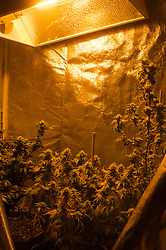Oct 4, 2016 - Eugene, Oregon, U.S. - A grow tent with near ripe pot plants under a grow light in a residential closet. California is set to vote on Proposition 64, a referendum on California's November ballot that would legalize cultivation, sale and recreational use of marijuana. (Credit Image: © Shalan Stewart/ZUMA Wire/ZUMAPRESS.com)