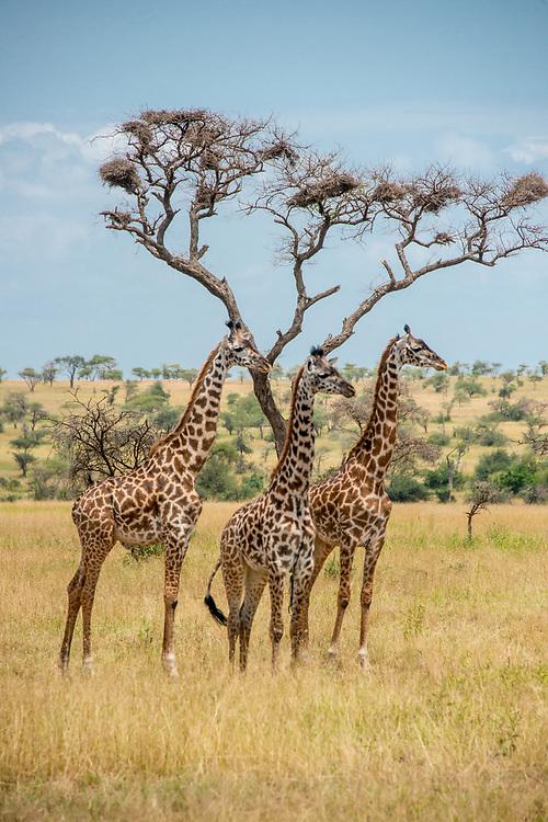 Masai giraffe (G. c. tippelskirchi) in the central Serengeti woodlands