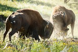 Backlit bison bulls locking horns and battling for dominance during rut, Vermejo Park Ranch, New Mexico, USA.