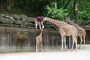 The giraffes at the Memphis Zoo gave birth to three giraffes in 2017. Photo By Karen Pulfer Focht