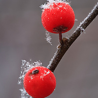 Close-up of snowflakes and frost on winterberry (Ilex verticillata) berries growing in a wooded swamp in Greenfield, MA taken under overcast conditions during the beginning of a snow storm.