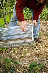 Protecting young vegetable seedlings by covering with a plastic cloche in spring