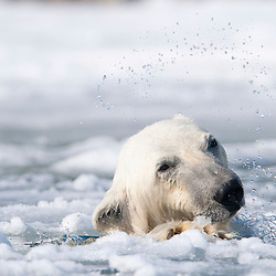 A polar bear comes up for air through the desintegrating layer of ice, after diving down to the remains of the fin whale carcass. Location: Holmiabukta Bay, Northwest Svalbard, Arctic Europe