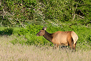 Roosevelt Elk in the Quinault Rainforest area of Olympic National Park, Washington