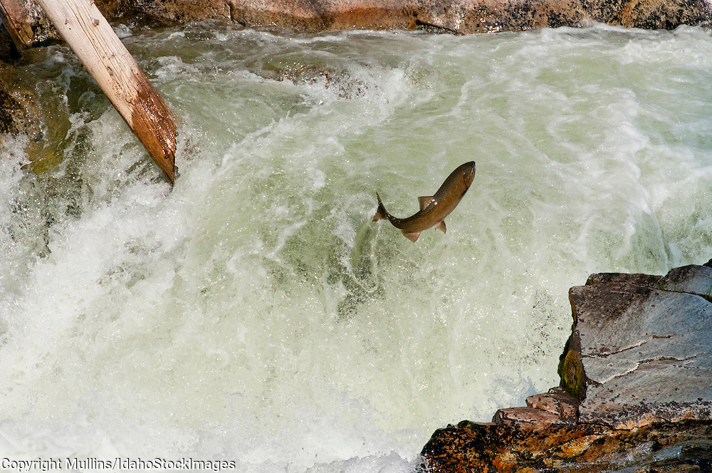 the journals of chinook salmon migration The cherry salmon has an average length of around 20 inches, while the chinook salmon has been known to reach almost 5 feet weight: 4 to 110 lbs depending on the.