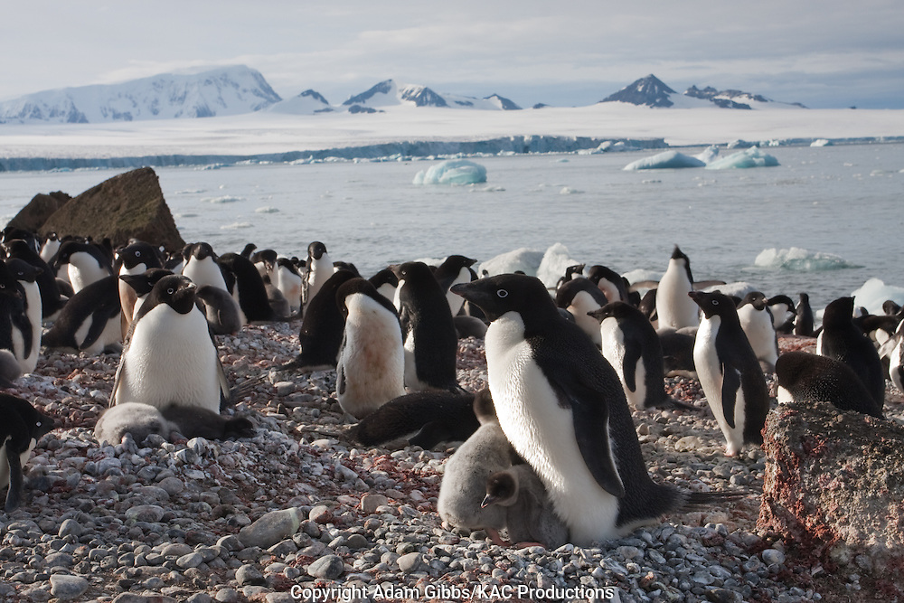 Adelie penguin, Antarctica, Pygoscelis adeliae, nesting colony at Brown Bluff.