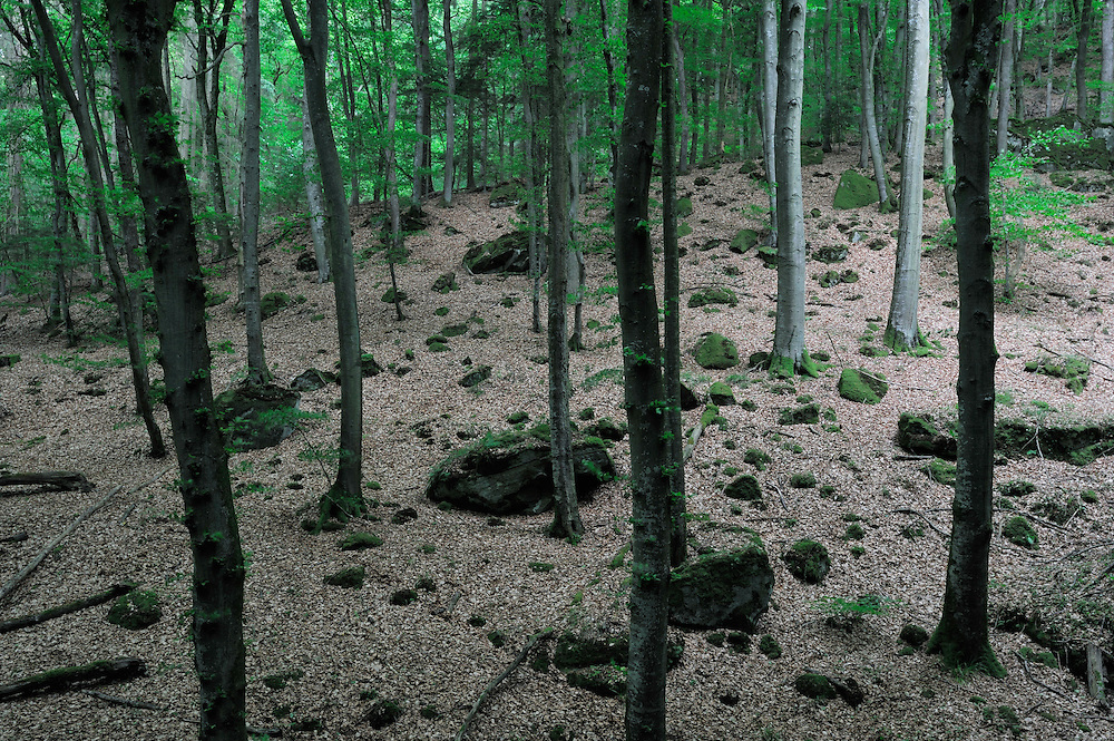 Beech forest near Rammelay, Mullerthal trail, Mullerthal, Luxembourg