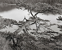 BW01871-00...WASHINGTON - Cedar tree leaning over Bowman Bay of  Fidalgo Island. This is an Ilford Delta 100 4x5 film image. Exposure 10 sec. f22 1/2 with a #8 yellow filter.
