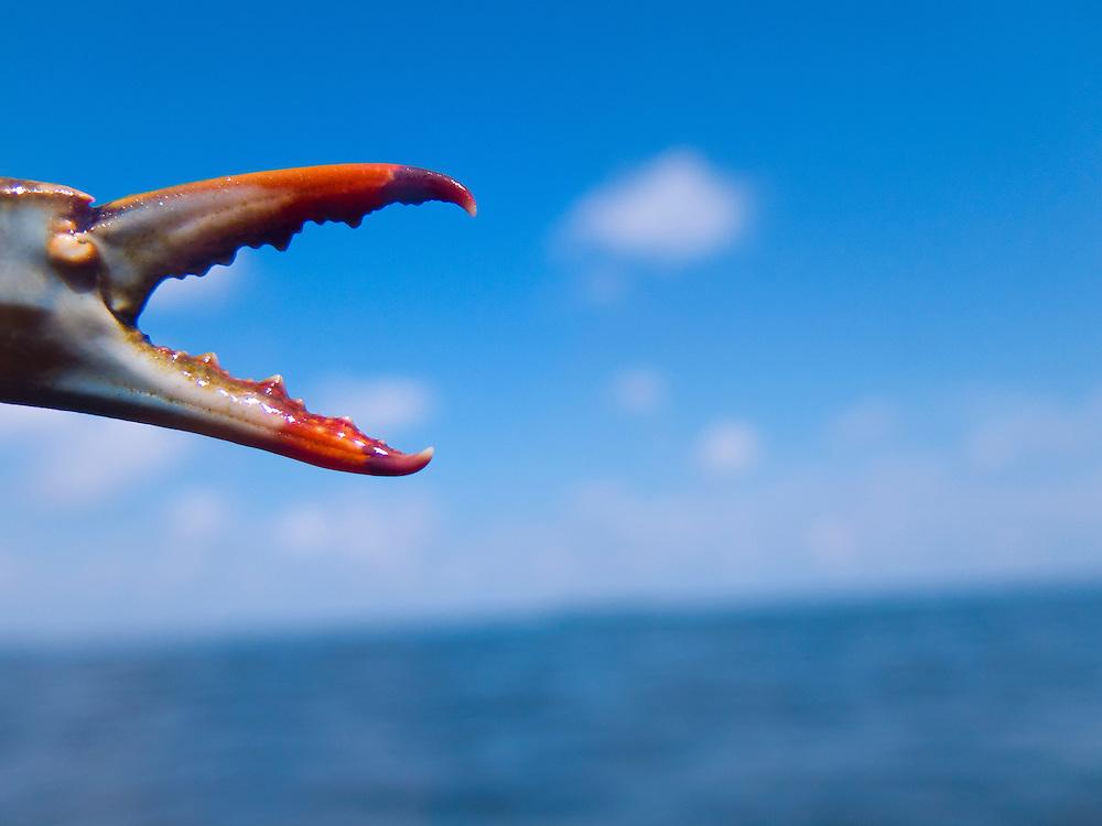 Crab claw.