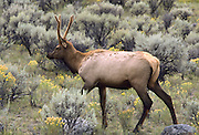 Young male elk in Grand Teton National Park