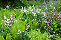 Hesperis, campion and ferns at Hidcote Manor Garden. Hesperis matronalis, Silene dioica. Sweet Rocket, Dame's Violet
