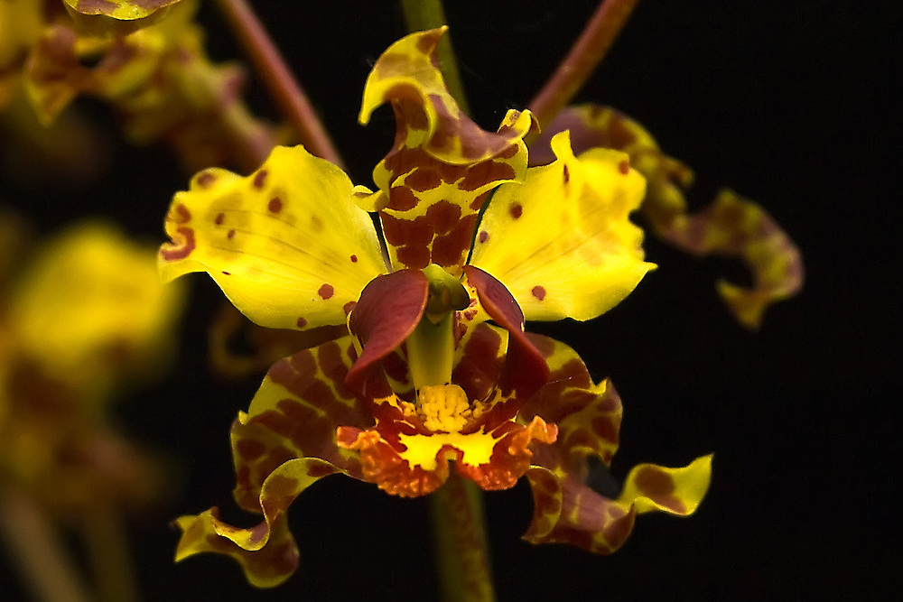 A close-up of a cigar orchid flower against a black diffuser (a photographer's tool for adjusting natural light) in the Big Cypress National Preserve.
