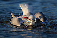 Larus novaehollandiae (Red billed gull)